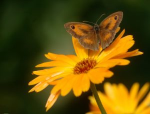 goudsbloem vlinder